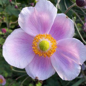 myriam-fleur-de-bach